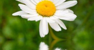 Алергичната хрема може да преборите със запарка от лайка