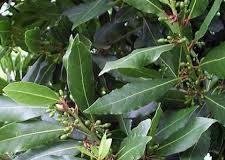 Отварата от дафинов лист е истински еликсир за организма