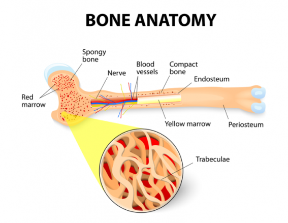 3-bone-anatomy