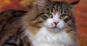 котка алергия