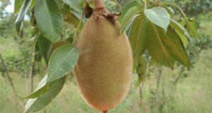 Плод на боабаб