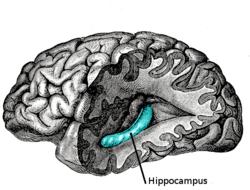 хипокампус