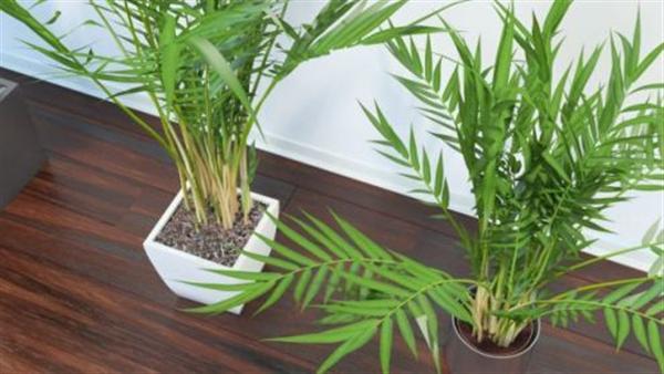бамбукова палма