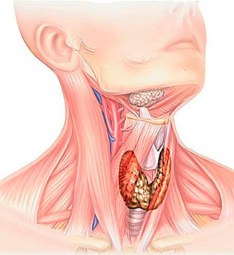Щитовидна жлеза и наднормено тегло