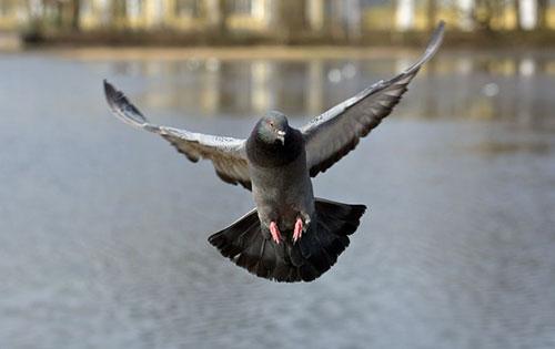 гълъбите